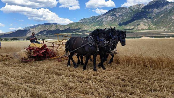Black Percherons Harvesting Einkorn