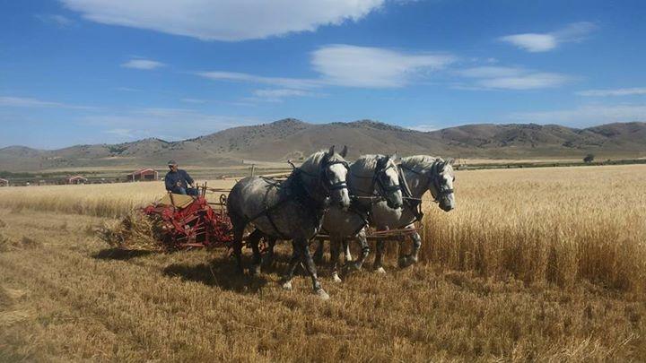 Fresh Percherons Harvesting Einkorn