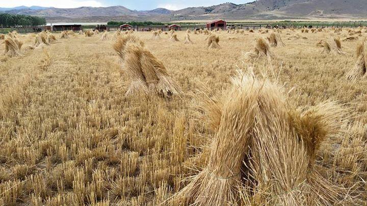 Einkorn Shocks in Field