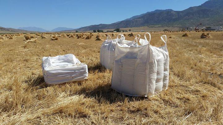 Filling einkorn bags during threshing