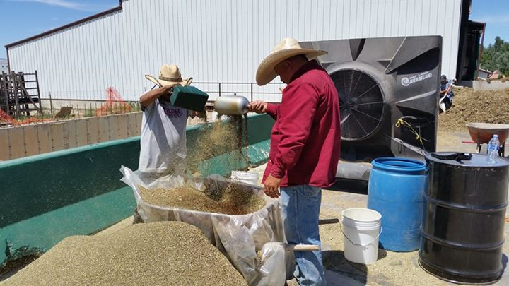 Sifting Clary Sage Seeds at Mona Farm