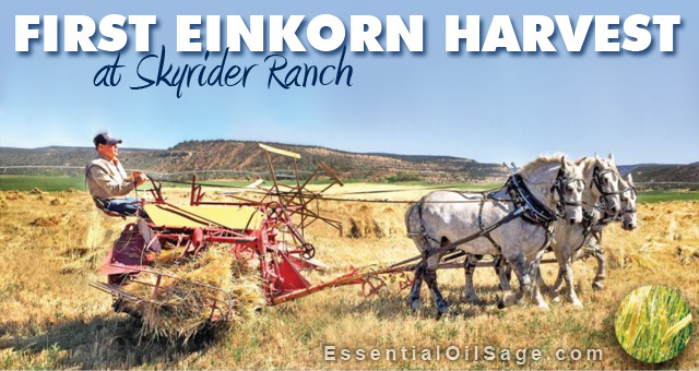 Young Living Einkorn Harvest Skyrider Ranch