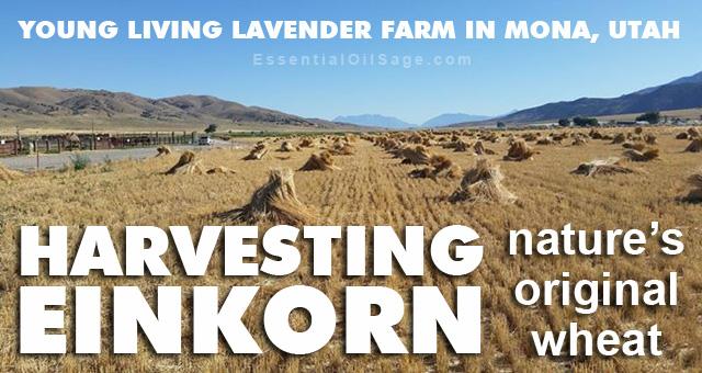 Harvesting Einkorn