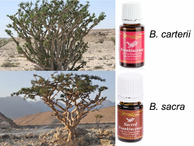 Young Living Frankincense Oil Boswellia carteri and sacra