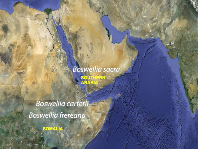 growing regions for Boswellia Sacra, carterii and frereana