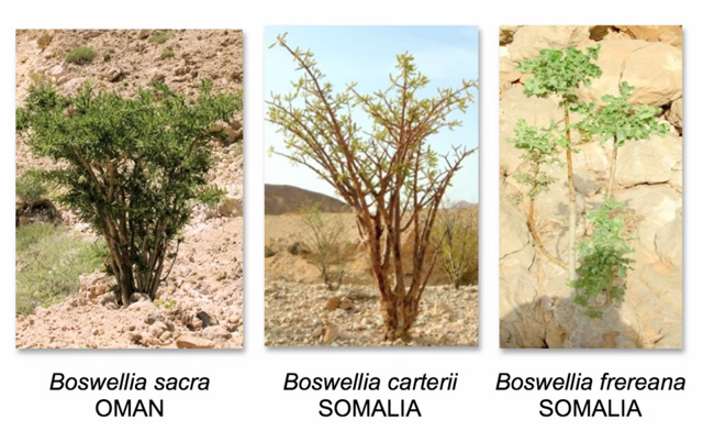 compare Boswellia sacra, carterii and frereana trees