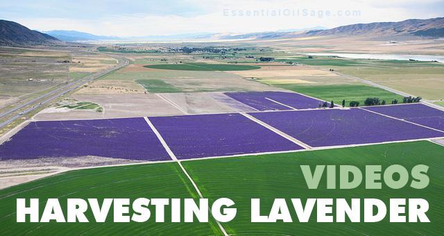 Young Living Harvesting Lavender