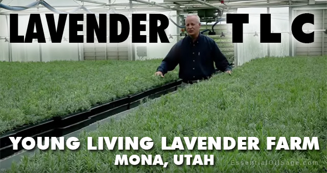 Lavender Starts at Young Living Mona Farm