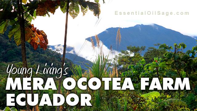 Young Living Mera Ocotea Farm