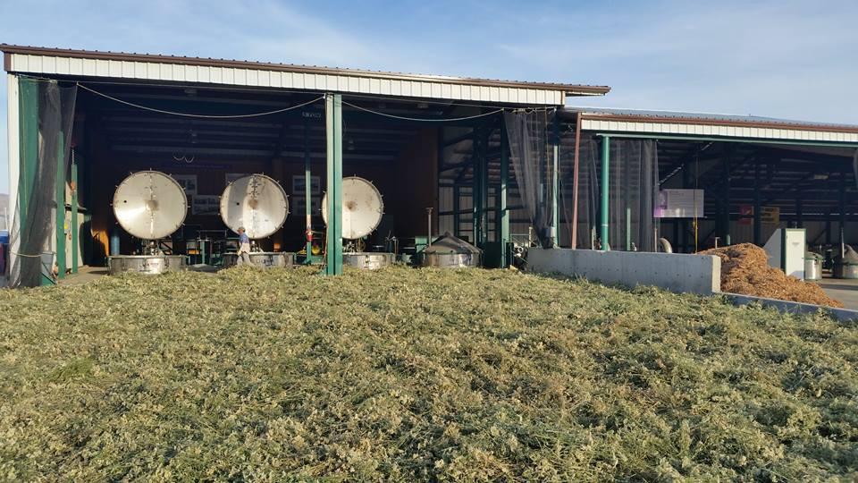 Blue Yarrow Basking in Sun Before Distillation