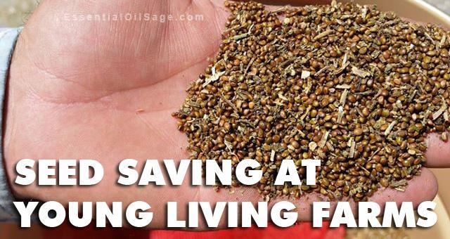 Clary Sage Seed Saving
