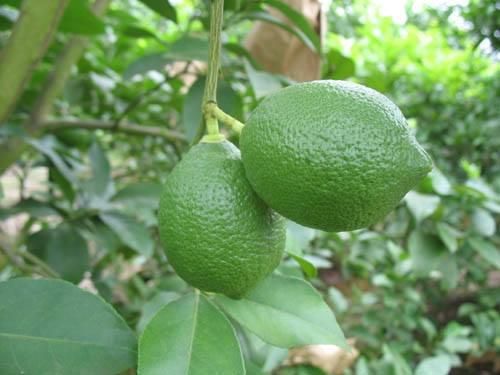 Jade Lemons on Stem