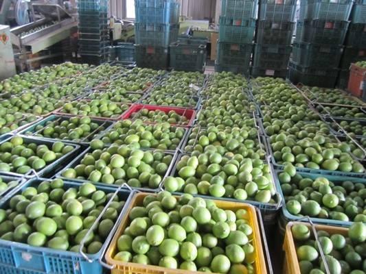 Jade Lemons Ready for Distillation