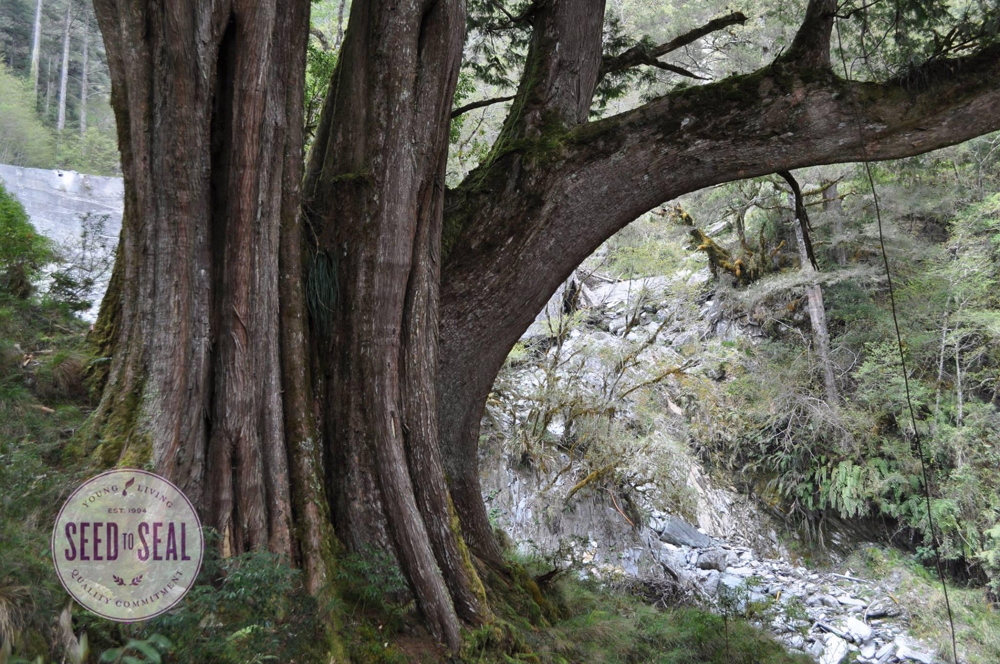 Hong Kuai Tree of Taiwan