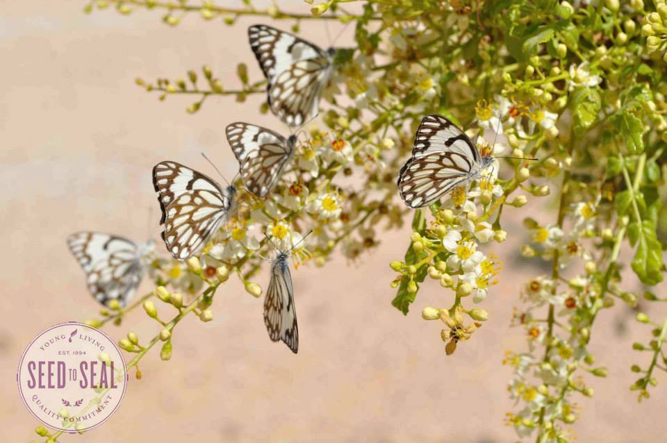 Butterflies at World Frankincense Heritage Site