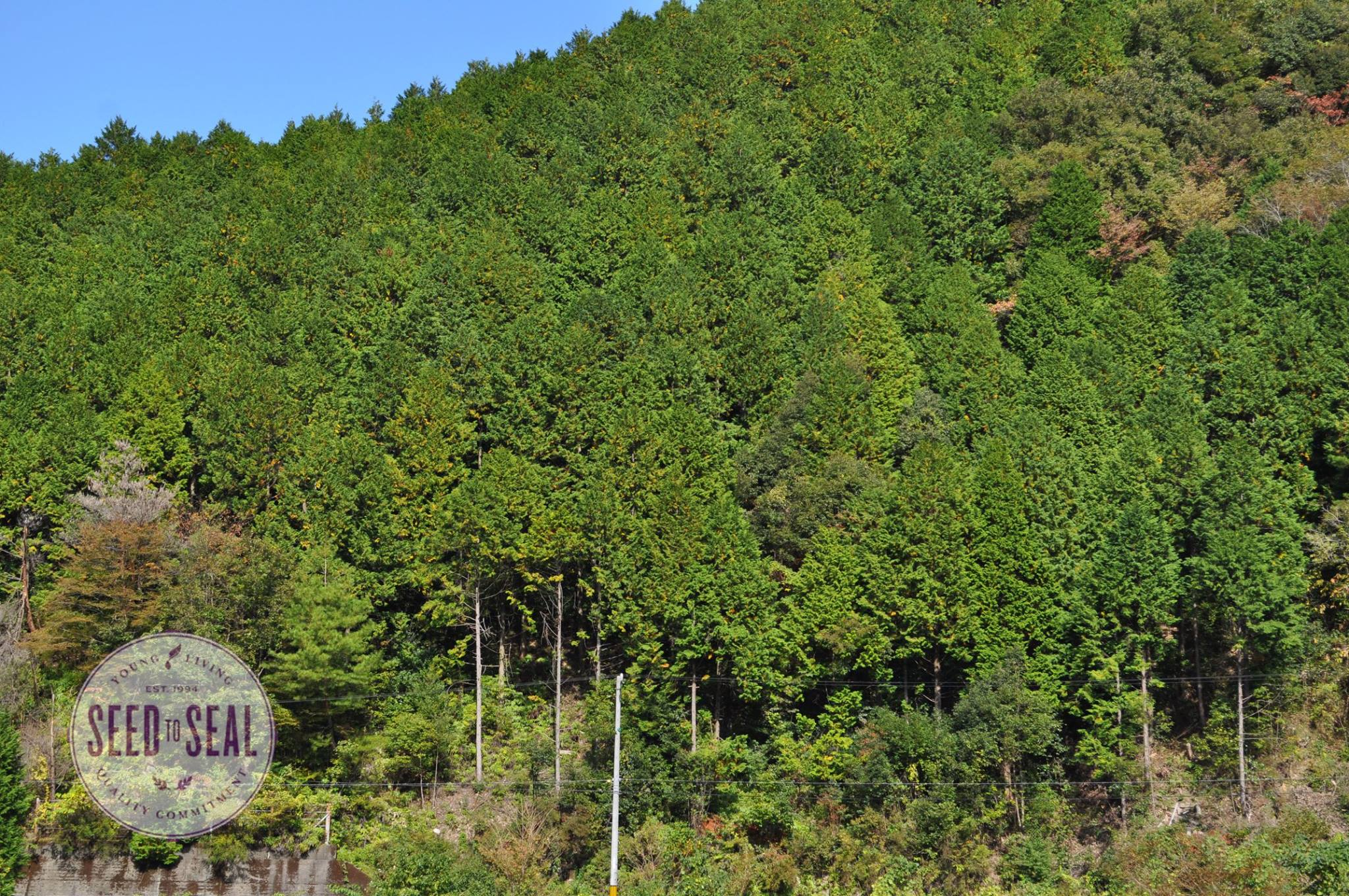 Hinoki Trees of Japan