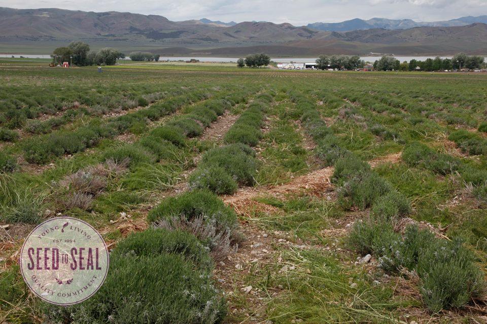 woolley-20150610-weeding-lavender2