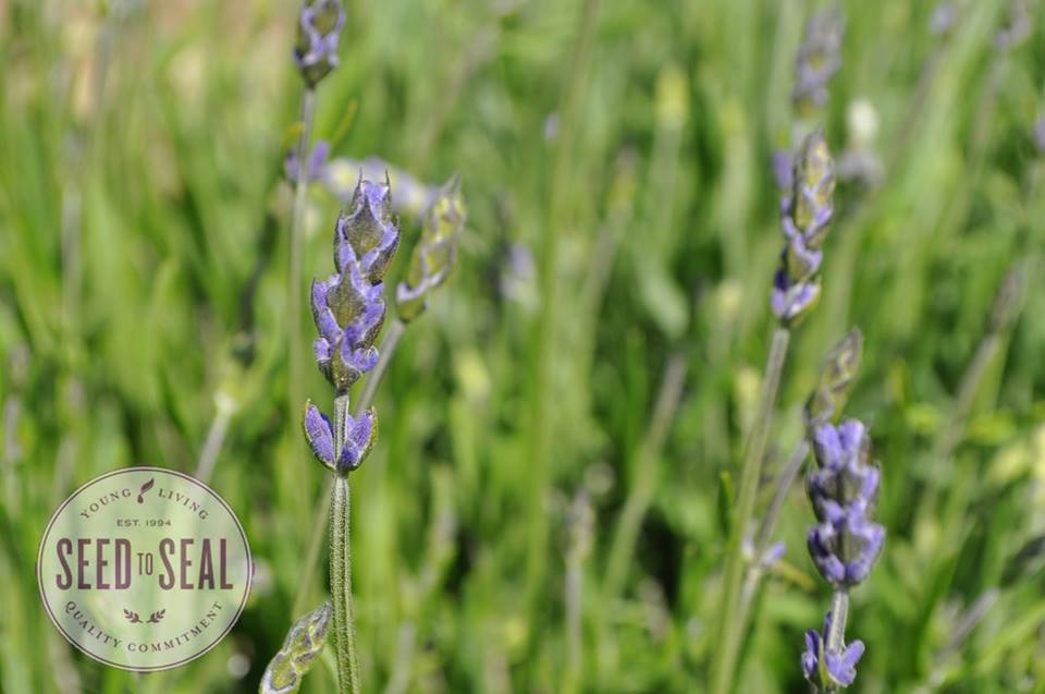 Adulterated Lavender Oil