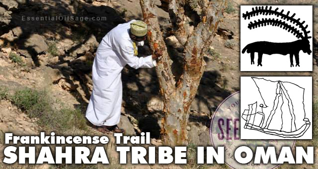 Shara Tribe harvesting sacred frankincense